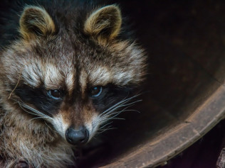 racoon in Nampa, ID